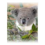 Koala Bear Postcard