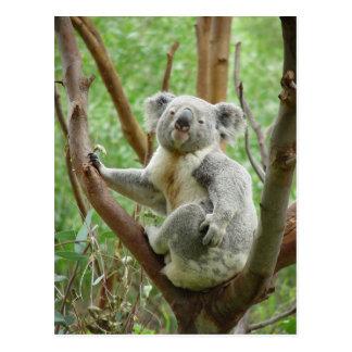 Koala Bear Sitting On The Tree At Perth Zoo Postcard