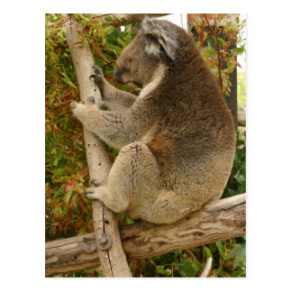 Koala bear sleeping on a tree postcard