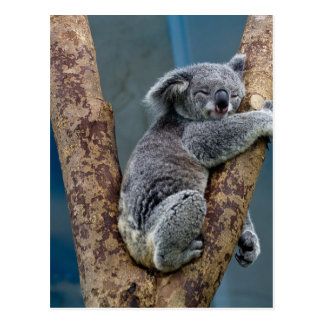 Koala Bear Sleeps Hugging A Tree Postcard