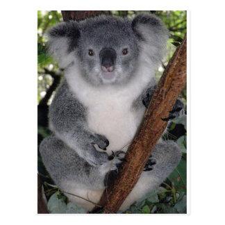Koala Bears Post Card