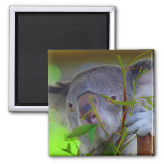 Koala Eating Magnet