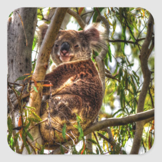 KOALA IN TREE QUEENSLAND AUSTRALIA ART EFFECTS SQUARE STICKER