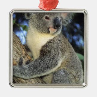 Koala, Phascolarctos cinereus), Australia, Christmas Ornament