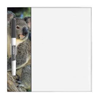 Koala, Phascolarctos cinereus), Australia, Dry Erase Board