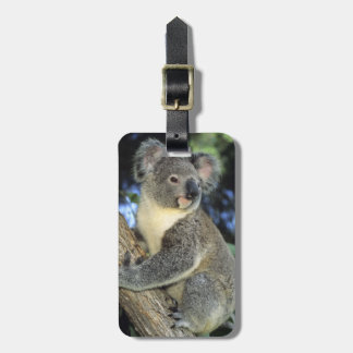 Koala, Phascolarctos cinereus), Australia, Luggage Tag