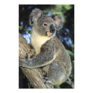 Koala, Phascolarctos cinereus), Australia, Photo Print