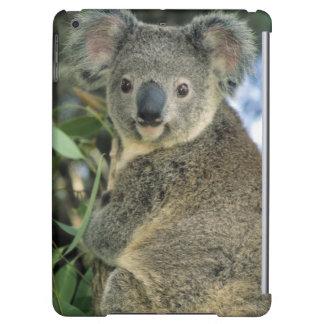 Koala, Phascolarctos cinereus), endangered,