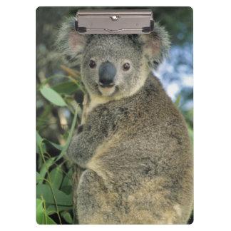 Koala, Phascolarctos cinereus), endangered, Clipboard