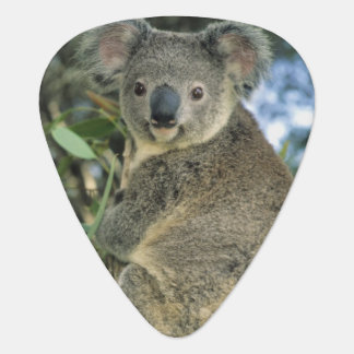 Koala, Phascolarctos cinereus), endangered, Guitar Pick