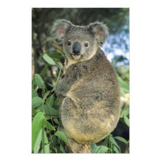 Koala, Phascolarctos cinereus), endangered, Photo Art