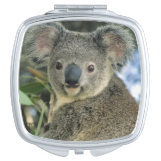 Koala, Phascolarctos cinereus), endangered, Travel Mirror
