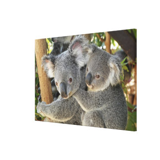 Koala Phascolarctos cinereus Queensland . Canvas Print
