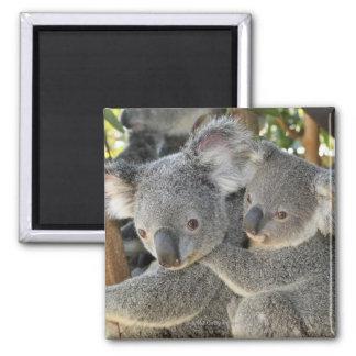 Koala Phascolarctos cinereus Queensland . Magnet