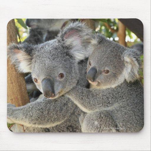 Koala Phascolarctos cinereus Queensland . Mousepads