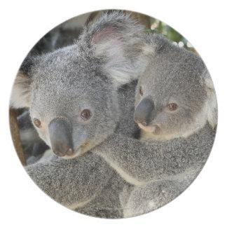 Koala Phascolarctos cinereus Queensland . Plate