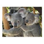 Koala Phascolarctos cinereus Queensland . Post Cards