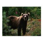 Kodiak Brown Bear Post Card