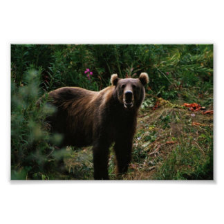 Kodiak Brown Bear Print