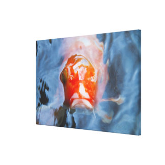 Koi Carp (Cyprinus carpio), Japan Canvas Print