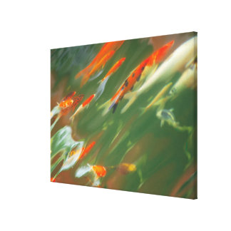 Koi carp fish swimming in a pond canvas print