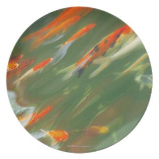Koi carp fish swimming in a pond plate
