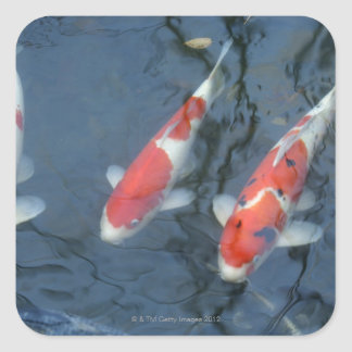 Koi carp in pond, high angle view square sticker