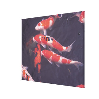 Koi swimming in pool canvas print