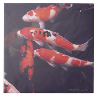 Koi swimming in pool tile
