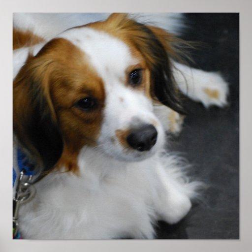 Kooikerhondje Dog Poster