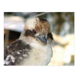 Kookaburra Postcard