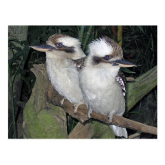 Kookaburras post card
