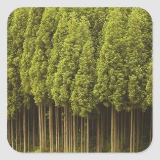 Koya Sugi Cedar Trees Square Sticker