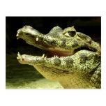 Krokodil / Crocodile Postcard