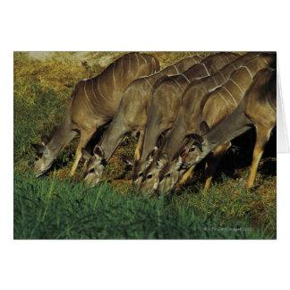 Kudu drinking , Chobe National Park , Botswana Card