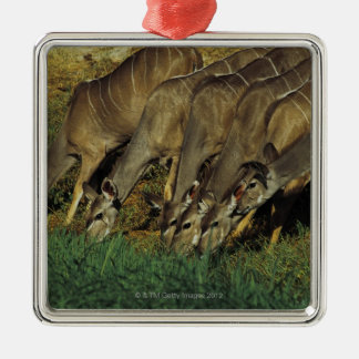 Kudu drinking , Chobe National Park , Botswana Christmas Ornament