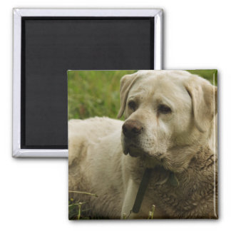 Labrador Photo Square Magnet