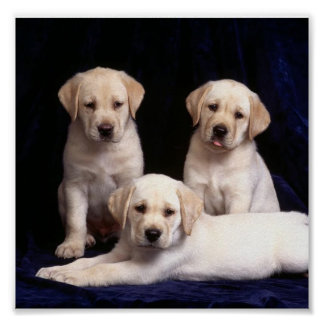 labrador-puppies poster
