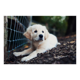Labrador Puppy Playing In The Garden Poster