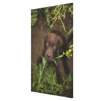 Labrador puppy sitting in grass canvas print