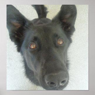 Labrador retriever close up poster