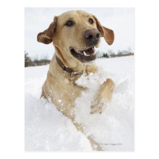 Labrador retriever jumping through deep snow postcard