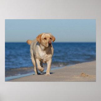 Labrador retriever on the beach poster