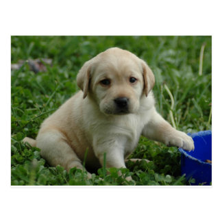 Labrador Retriever Postcard