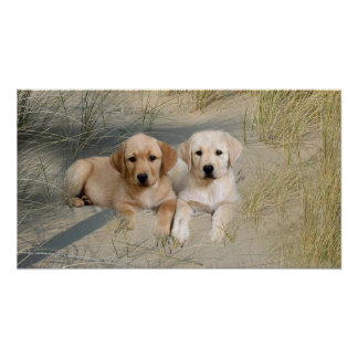Labrador Retriever Poster Pups On Beach