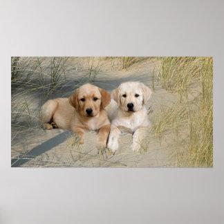 Labrador Retriever Poster Pups On Beach