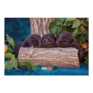 Labrador Retriever Puppies Poster