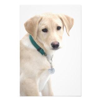 Labrador Retriever Puppy, MR) Photo Print