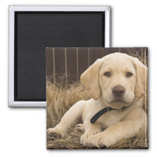 Labrador Retriever puppy Square Magnet