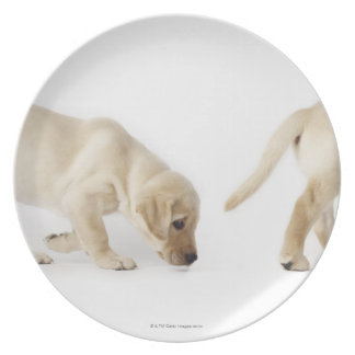 Labrador Retriever Puppy walking, montage Plate